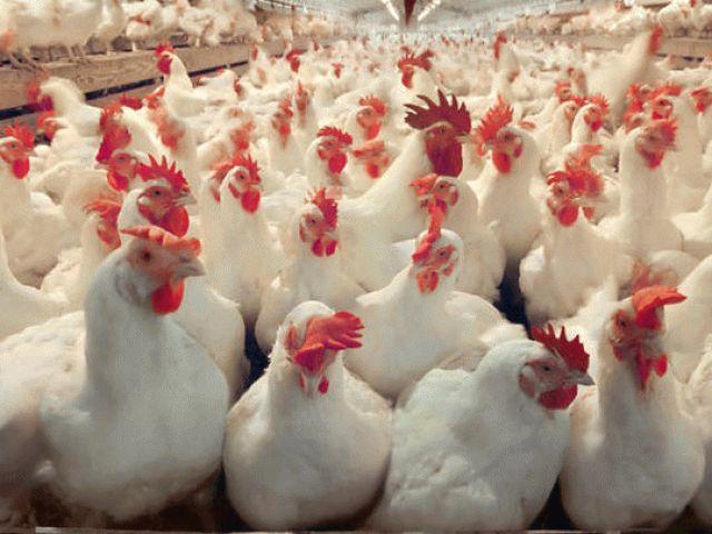 О санитарно-защитных зонах птицеферм